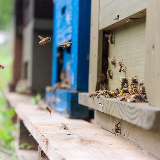 ミツバチの様子